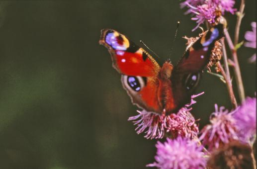 Red butterfly - Free Stock Photo