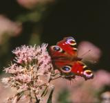 Free Photo - Red butterfly