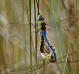 Free Photo - Mating dragonflies