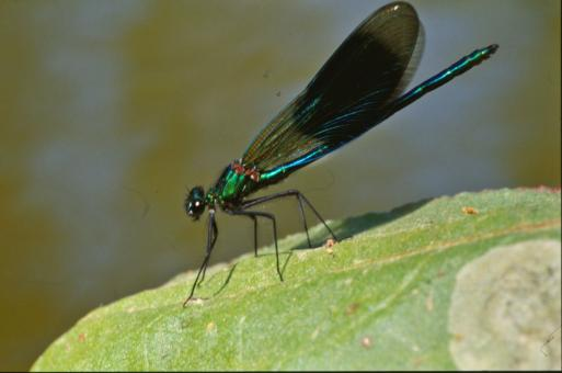 Green dragonfly - Free Stock Photo
