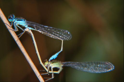 Mating dragonflies - Free Stock Photo