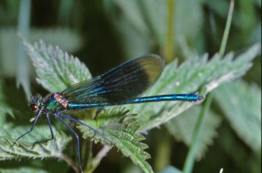 Blue dragonfly - Free Stock Photo