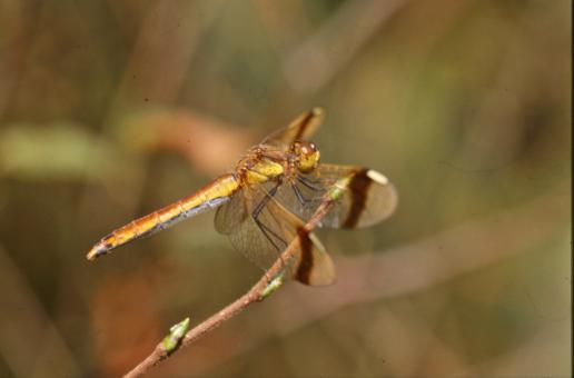 Yellow dragonfly - Free Stock Photo