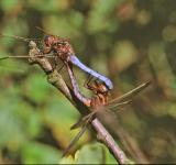 Free Photo - Dragonflies