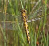 Free Photo - Yellow dragonfly