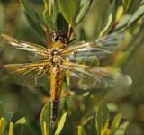 Free Photo - Orange dragonfly
