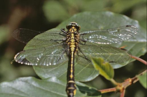 Yellow and black dragonfly - Free Stock Photo