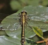 Free Photo - Yellow and black dragonfly