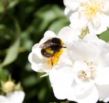 Free Photo - Bumble Bee Taking Nectar