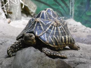 Indian Star Tortoise Free Photo