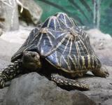 Free Photo - Indian Star Tortoise