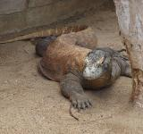 Free Photo - Komodo dragon