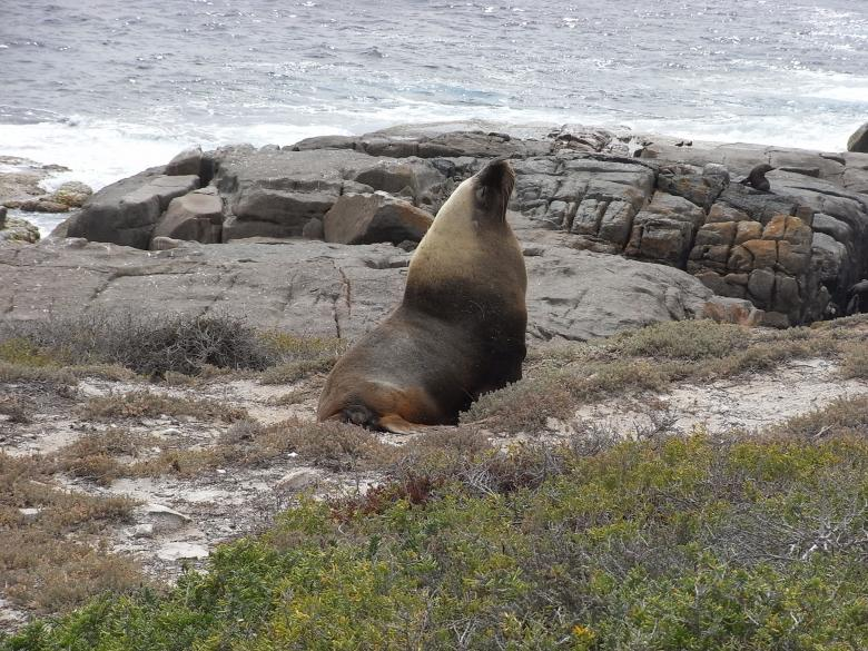 Free Stock Photo of Australian Sea Lion Created by Jackie Skeate