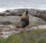 Free Photo - Australian Sea Lion