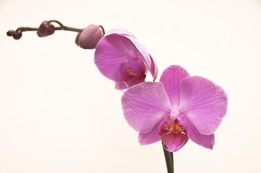 Orchid - Free Stock Photo