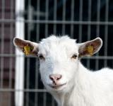 Free Photo - Im a Goat