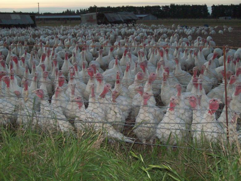 Free Stock Photo of IST DAS  TURKEYS @ DROMORE - Scenes by t Created by Peter Alexander Robb