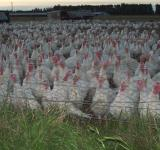 Free Photo - IST DAS  TURKEYS @ DROMORE - Scenes by t