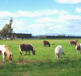Free Photo - Tiny Ponies - near West Melton