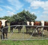 Free Photo - Mixed cattle Herefords and others at Wes