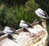 Free Photo - Three pelicans
