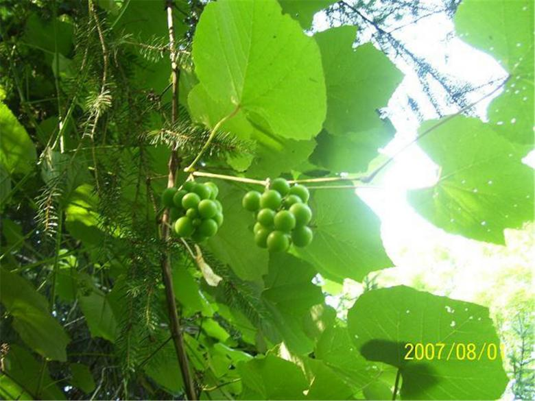 Free Stock Photo of Crouching Hillbillie Hidden Grapes Created by Marcy