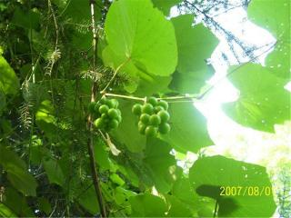Crouching Hillbillie Hidden Grapes Free Photo