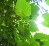Free Photo - Crouching Hillbillie Hidden Grapes