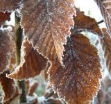 Free Photo - Frosty leaves
