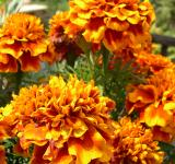 Free Photo - Marigolds