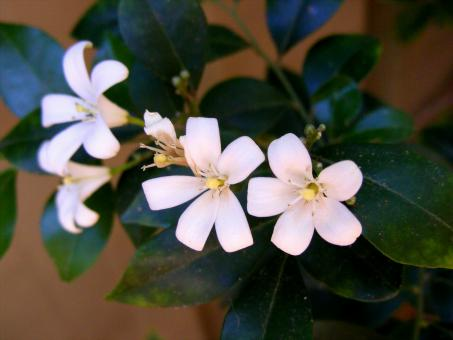 White Jasmine flower - Free Stock Photo