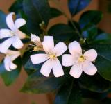Free Photo - White Jasmine flower