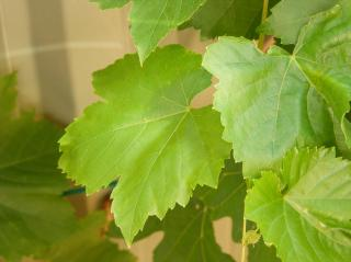 Grape leaves Free Photo