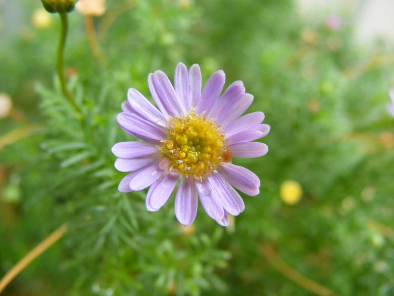 Daisy purple flower Free Photo