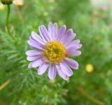 Daisy purple flower - Free Stock Photo