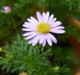 Free Photo - Purple daisy flower