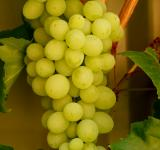 Free Photo - Grapes - My backyard