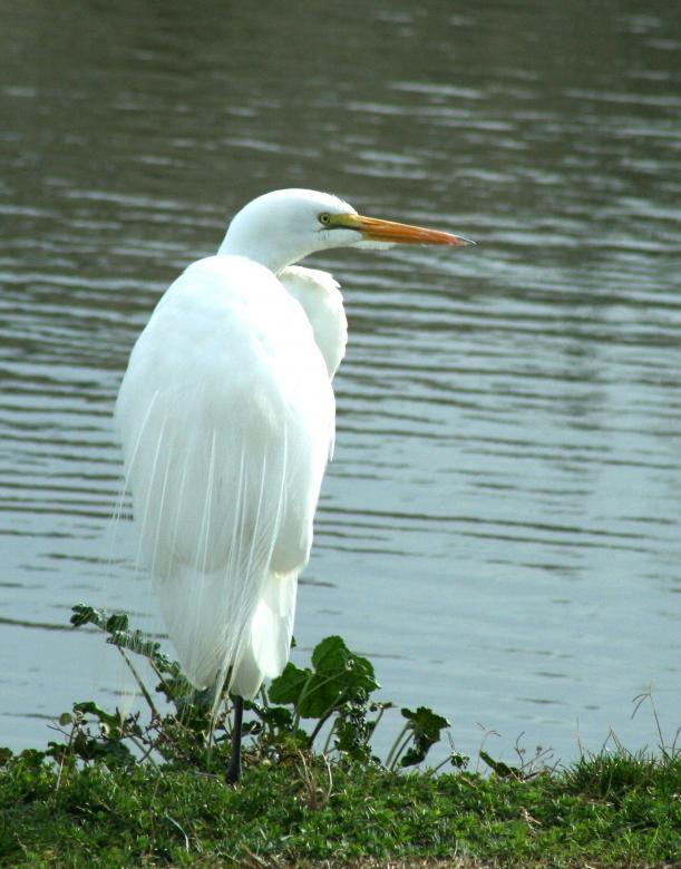 Free Stock Photo of White Egret Created by PatriciaEgreen