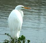 Free Photo - White Egret