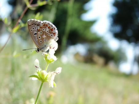 Croatian Butterfly - Free Stock Photo