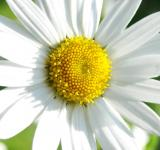Free Photo - Marguerite