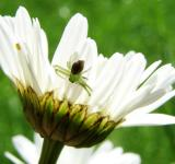 Free Photo - Small Spider on Marguerite