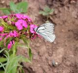 Free Photo - White butterfly on pink flower