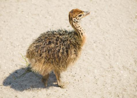 Young ostrich - Free Stock Photo
