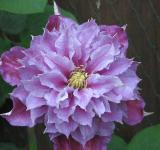 Free Photo - Clematis Close up
