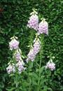 Free Photo - Beautiful pale pink Digitalis