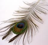 Free Photo - Peacock Feather