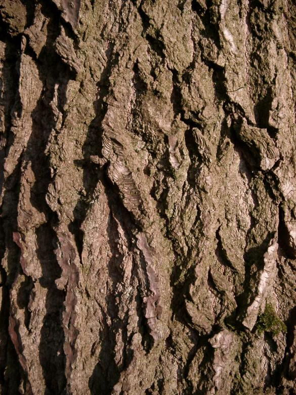Tree Bark Free Photo