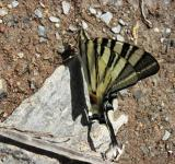Free Photo - Swallow-tail butterfly