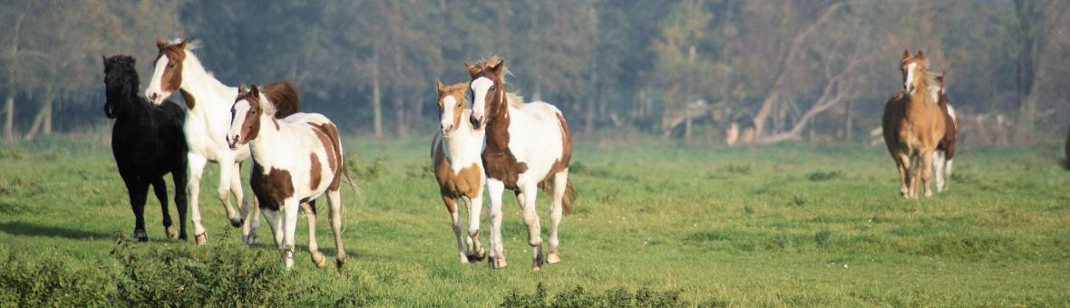 Horses in the Netherlands - Free Stock Photo